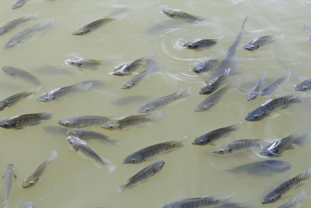 Budidaya Ikan Konsumsi