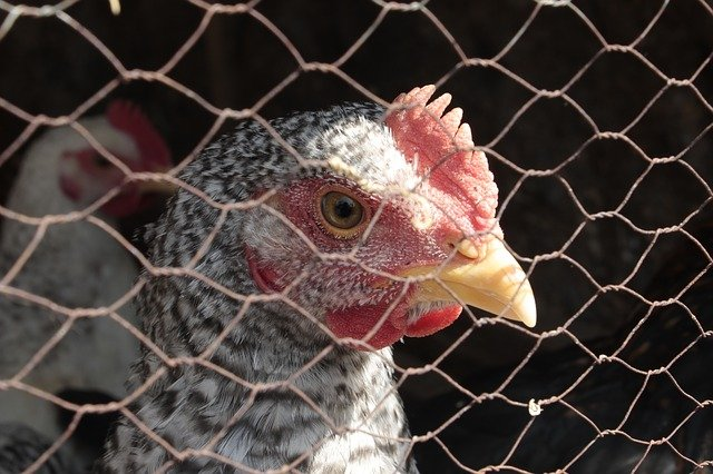 Teknik Memotong Karkas Ayam yang Perlu Anda Tahu