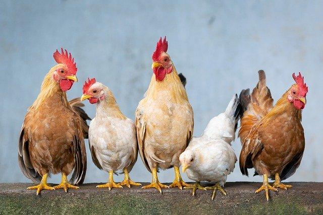 Mengintip 4 Keuntungan Ternak Ayam Potong Dari Segi Bisnis