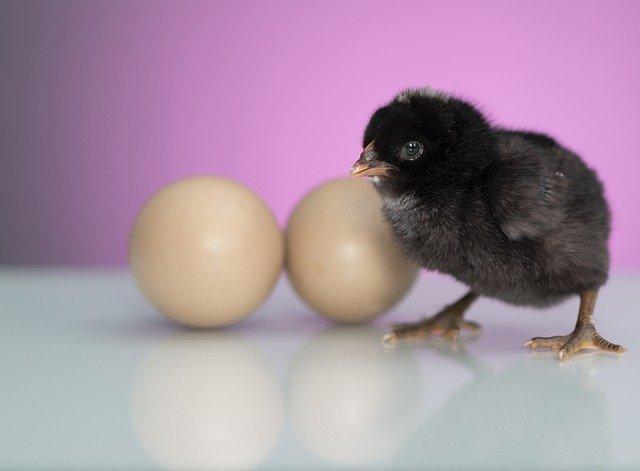 Tak Hanya Memberikan Pakan Bernutrisi, Berikut 4 Tips Merawat Doc Ayam Broiler