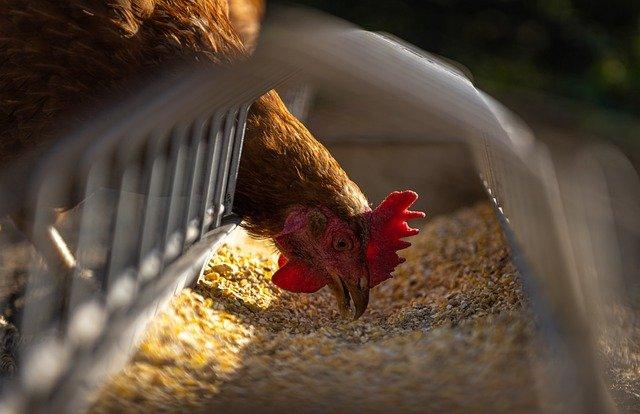 Miliki Nutrisi Yang Tinggi, Berikut 4 Pilihan Pakan Ayam Yang Bisa Anda Coba